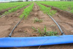 Manichetta gocciolante stesa in un campo di carote, con in evidenza il manicone o lay flat di adduzione